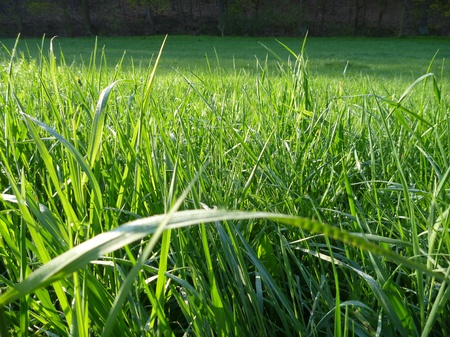 thick growth: a detail of a green gras with morning dew