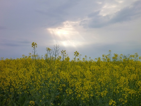 plant seed: a yellow rape seed plant field detail