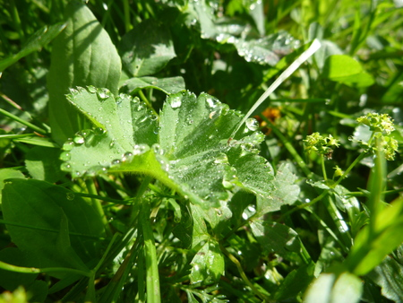 revitalize: a lady mantle leaf with morninw dew drops