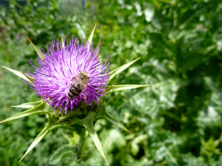 greeen: a beautiful violet thistle flower in blossom with bee Stock Photo