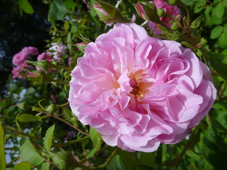 rose tree: a beautiful pink blosomming rose tree Stock Photo
