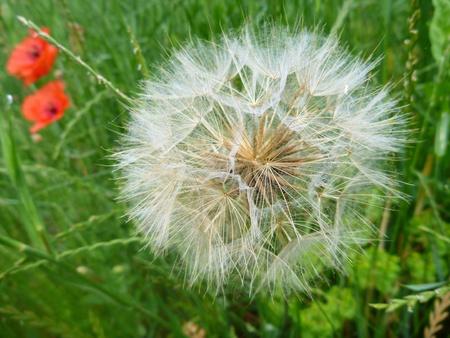 blowball: a white dandelion blowball in a green grass Stock Photo