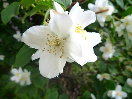 tree jasmine: a beautiful white jasmine tree in blossom