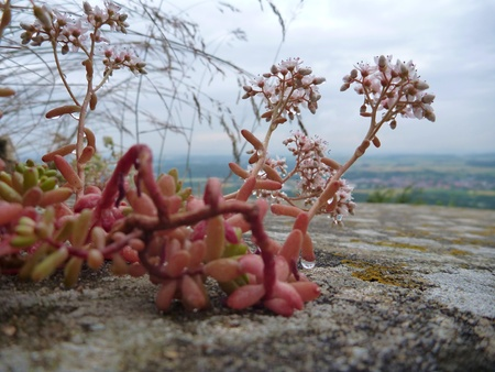 drought    resistant plant: a detail of a suculent flower on a wall Stock Photo