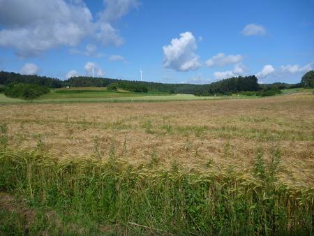 blu sky: a green barley field od an almost ripe crop