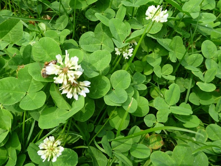 trifolium: a white blossoming clover on a meadow