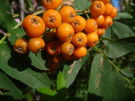 a detail of rowan berry tree with fruit Stock Photo