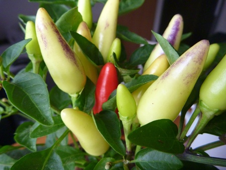capsaicin: a potted home chilli plant with green peppers