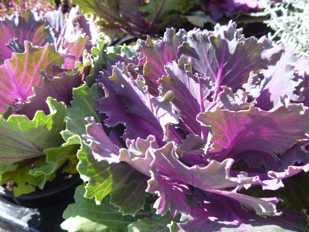 detail of green anf violet fresh lettuce