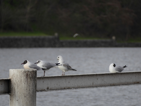 rive: a seagull sitting on a railing by a river