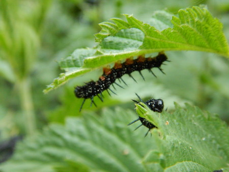 overpopulated: a close detail of a black worms on a nettle leaves