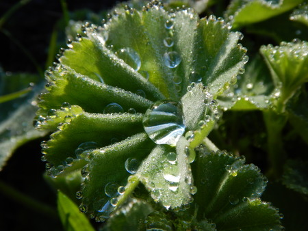 alchemilla: a close detail of alchemilla vulgaris leaf with drop of watter
