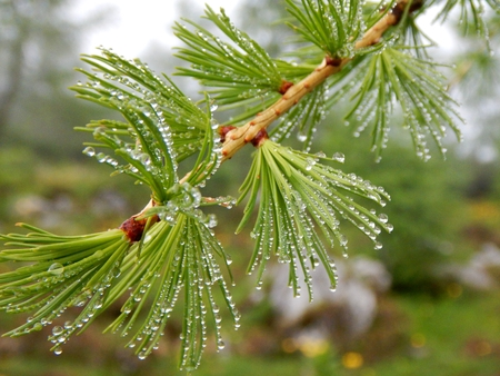 detail of larch green branch with water drops Imagens