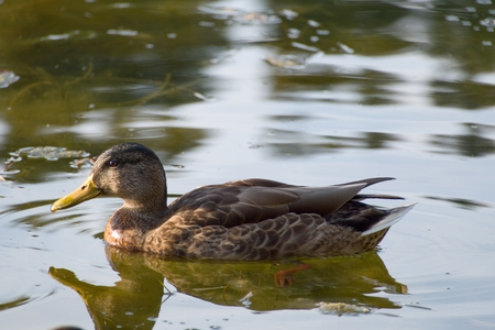 color image mallard duck: a duck on a lake in the nature
