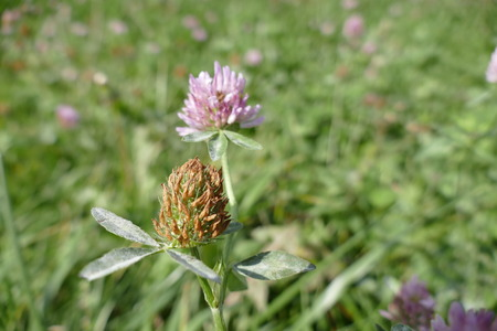 red clover: a close detail of pink clover in the grass