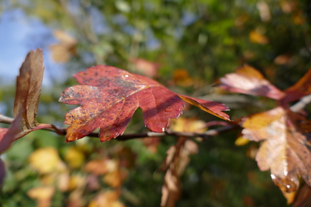 detail of a colorful leaf in autumn with dew drops Stock Photo