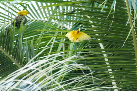 a small yellow bird nesting on a palm tree