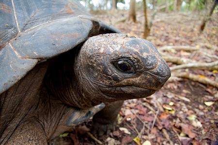 turtle in prison island reservation in zanzibar