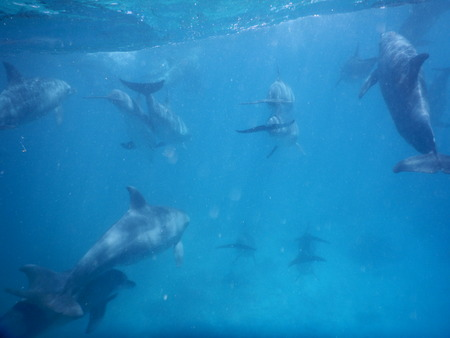 group of beautiful elegant dolphing under water