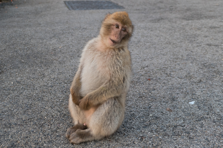 makaque monkey on a gibraltar rock in british territory Stock Photo