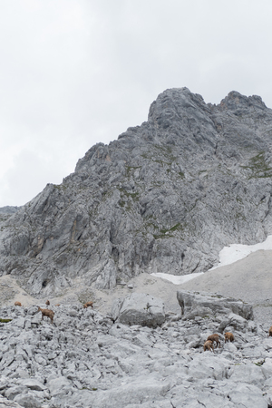 wild chamois in the rocks under grosser priel in austria