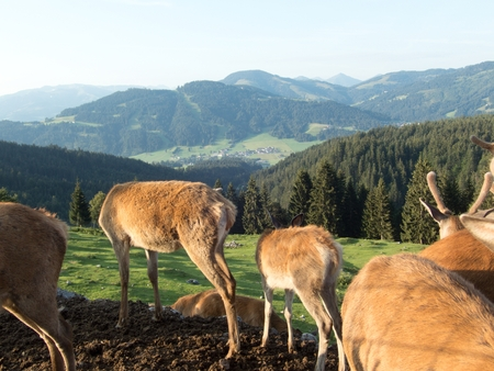 a domesticated deer on a farm in the alps