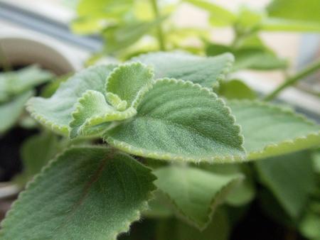 close macro detail of leaves of plectranthus argentatus plant Banco de Imagens