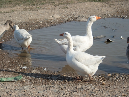 roup of white goose on a farm near water Stock fotó