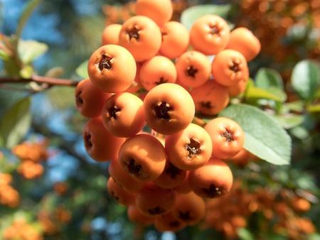detail of orange seasonal autumn berry on a tree Banco de Imagens