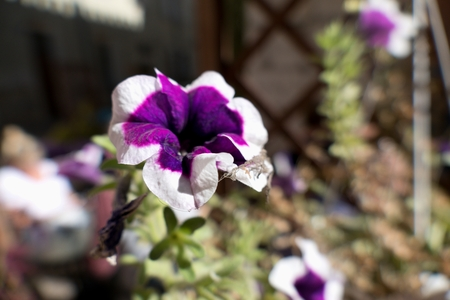 a close detail of a violet and white flower