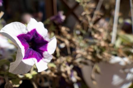 a close detail of a violet and white flower Foto de archivo