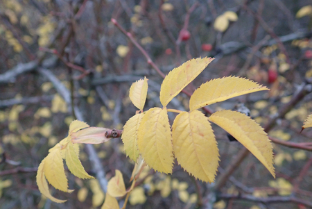 detail of a hip rose branch with fruit in the autumn