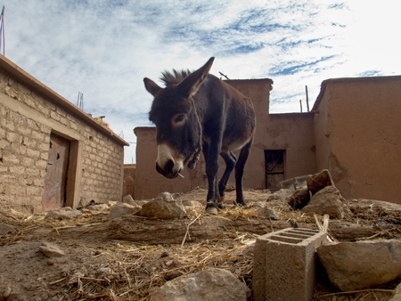 detail of a dark brown donkey in a countryside