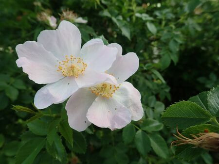 beautiful white pink hip rose in a blossom