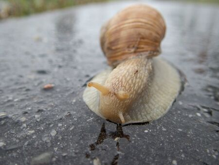 detail of a snail on a road after rain