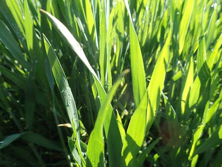 a close detail of fresh green grass with morning dew  in sunny day