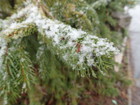 detail of snow flakes on a tree branch