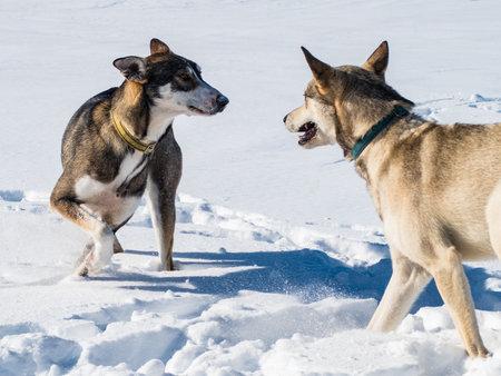 beautiful white snow sledge dog in winter
