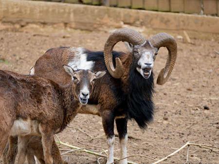 captivated animal mouflon in a small zoo Foto de archivo