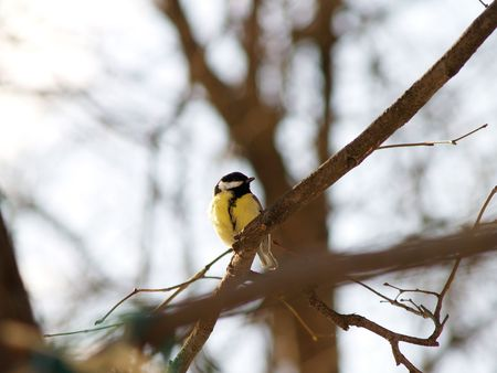 tomtit: Small yellow tomtit against spring trees