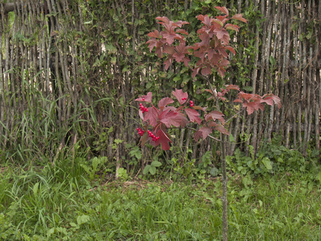 red bush: Red berries on a red bush near fenceFlowers on a meadow Stock Photo