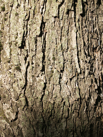 crinkles: The beautiful  bark of tree with deep crinkles and green moss Stock Photo