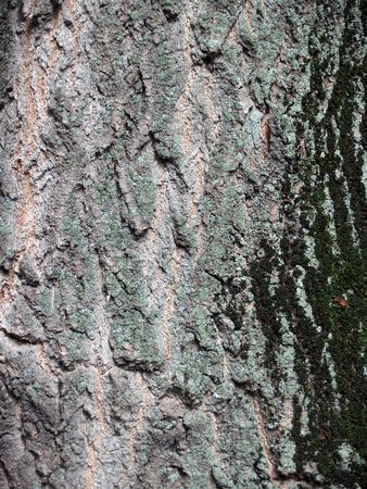 crinkles: The picturesque  bark of tree with deep crinkles and green moss