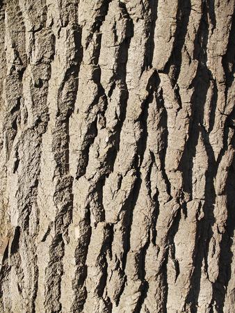 crinkles: The beautiful  bark of tree with deep crinkles sunlit