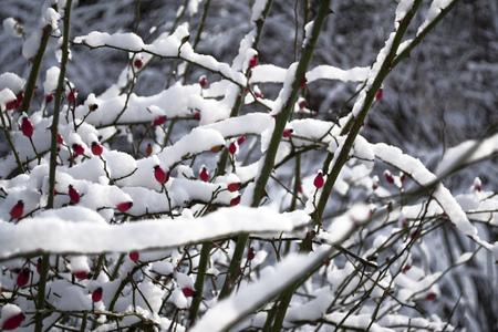 Rosa macrantha red berries in winter under fresh snow.