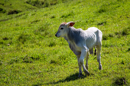 fortuna: Calf on green pasture (Fortuna River - Brazil)