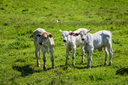 Three calves in the green pasture (Fortuna River - Brazil)