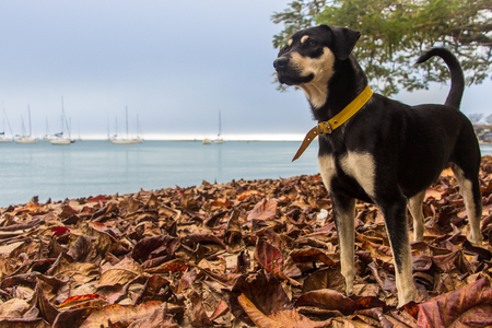 pupy: Black dog in the peaceful scenery of a cloudy autumn afternoon with views of the sea, dry leaves and anchored boats - Florianopolis, Brazil