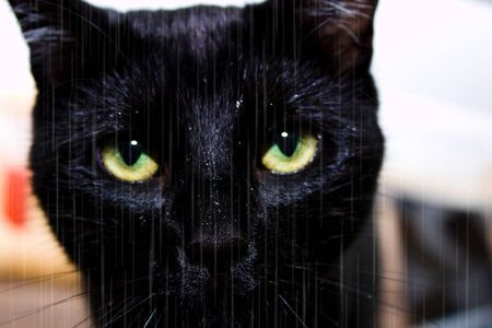 Portrait of a black cat standing in the rain. It is raining. Head of black cat with green eyes. Cat stares into the lens. It is rainy and raining.