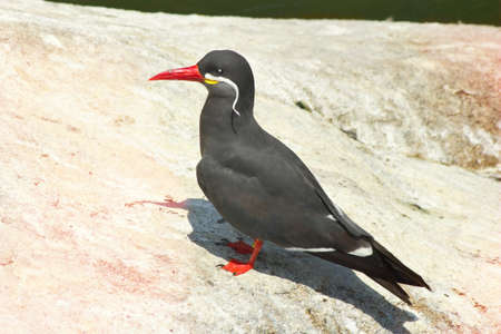 The Inca tern Larosterna inca is a tern in the family Laridae. It is the only member of the genus Larosterna.nnThis uniquely plumaged bird breeds on the coasts of Peru and Chile.